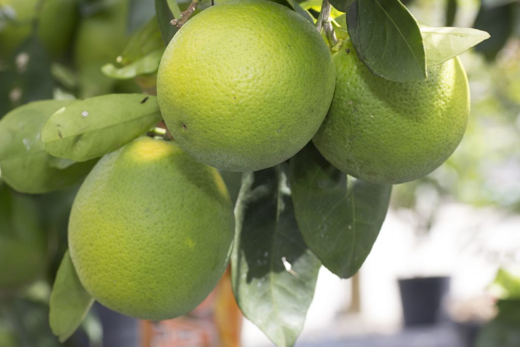 Citrus Trees Miami