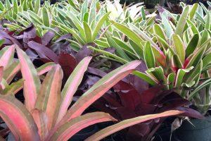Miami bromeliad