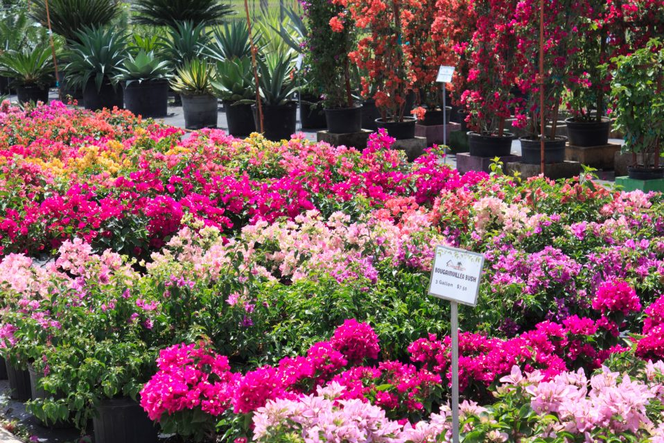 Casaplanta Miami Garden Center Blog Bougainvillea