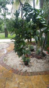 Buy Mango Trees Miami