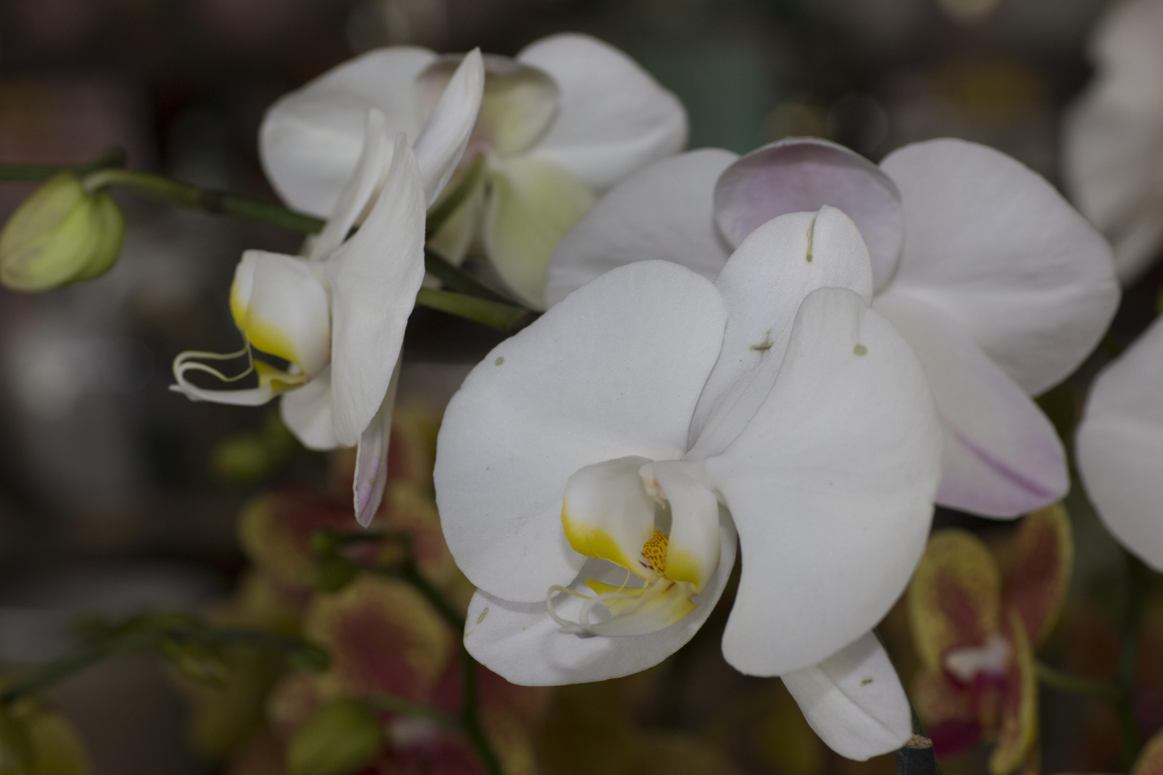 Miami Orchids