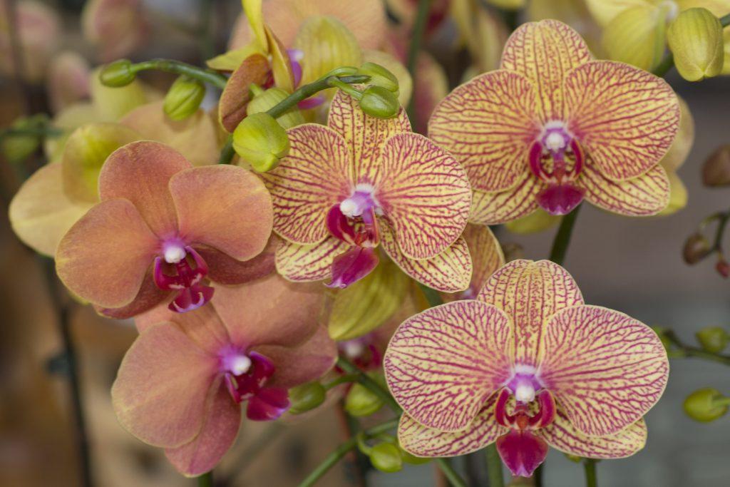 Orchids Miami