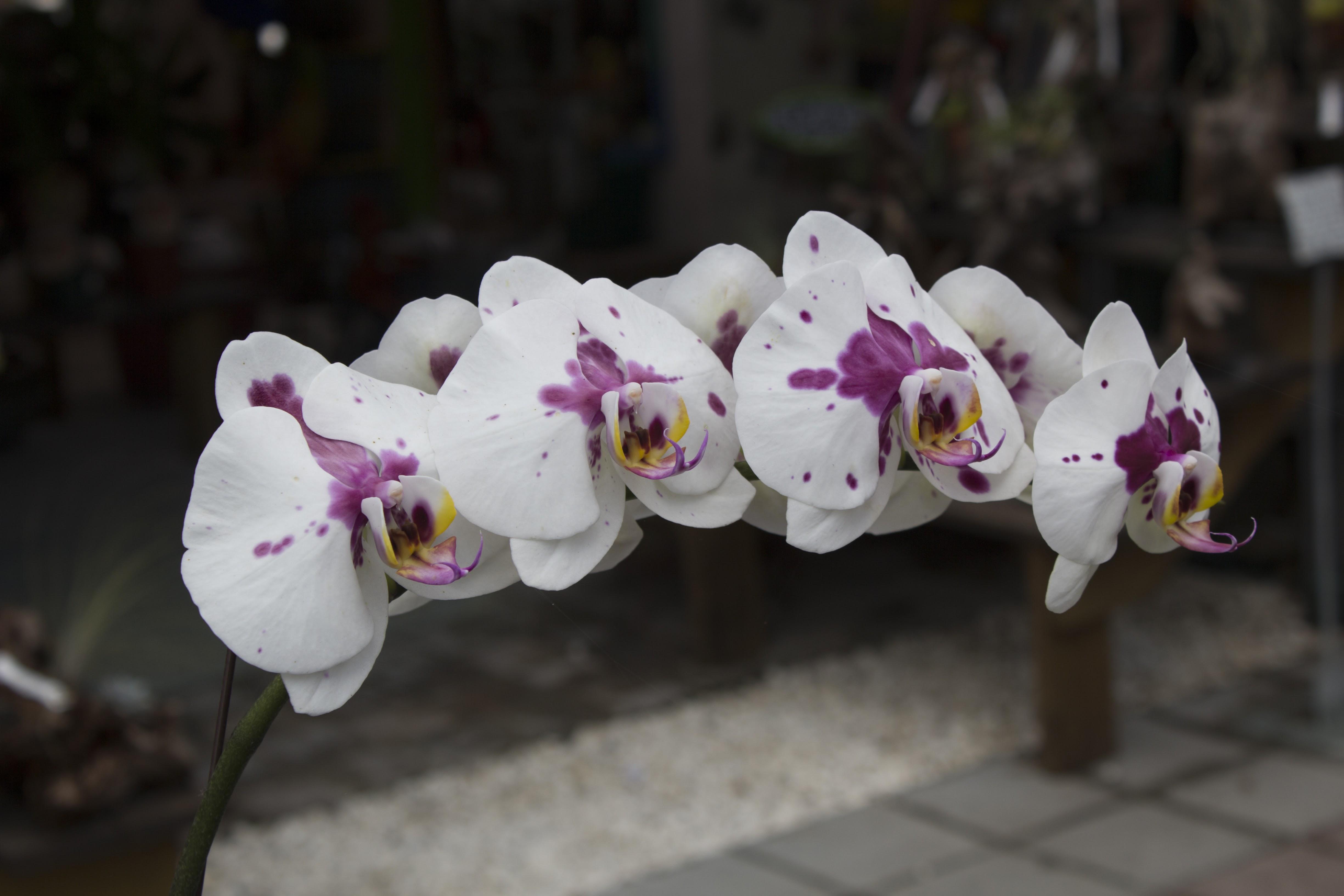 White Orchids Miami