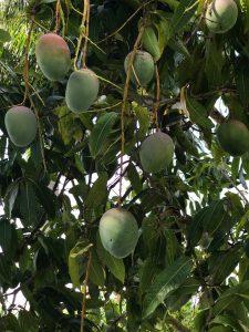 Hanging Mangoes