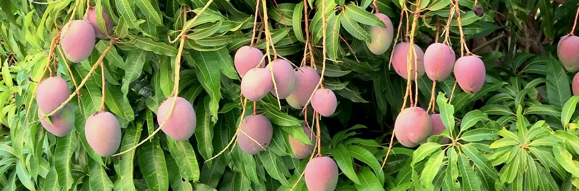 Growing Your Own Mango Tree