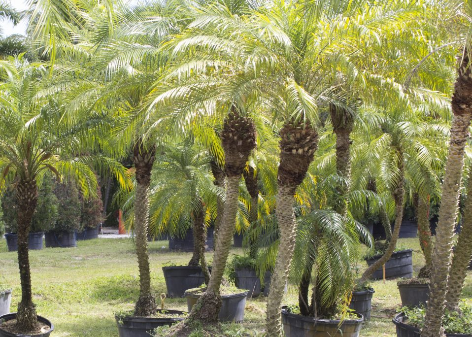3 Palms For The South Florida Sunshine