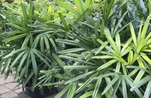 Casaplanta Lady Palm