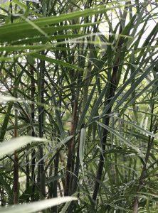 Casaplanta Bamboo Palm